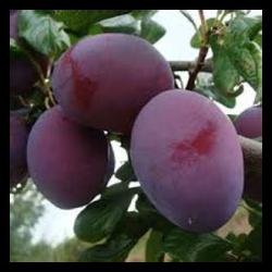Prunes Quetche